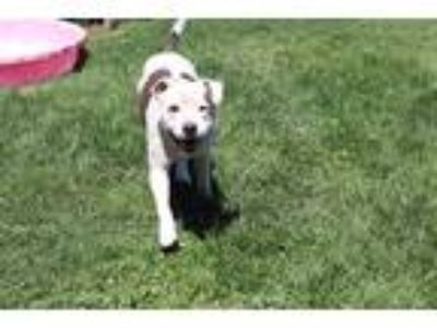 Adopt *SCOTTIE a White - with Brown or Chocolate American Pit Bull Terrier /