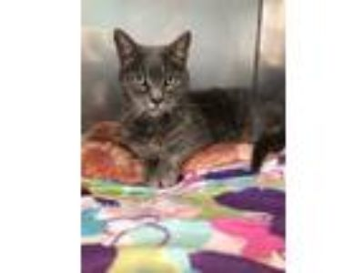 Adopt Blue a Domestic Shorthair / Mixed cat in Troy, VA (24763267)