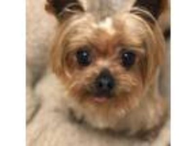 Adopt Frankie a Yorkshire Terrier