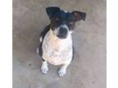Adopt Gloria a Black - with White Cattle Dog / American Pit Bull Terrier / Mixed