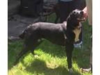 Adopt Fritz a Black Retriever (Unknown Type) / Mixed dog in Fort Collins
