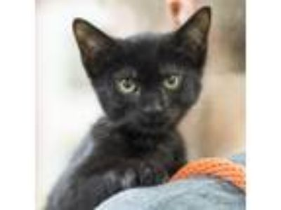Adopt Panther a All Black Domestic Shorthair / Domestic Shorthair / Mixed cat in