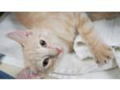 Adopt Cutie Cheetos just wants to love and love some more! a Maine Coon, Tabby