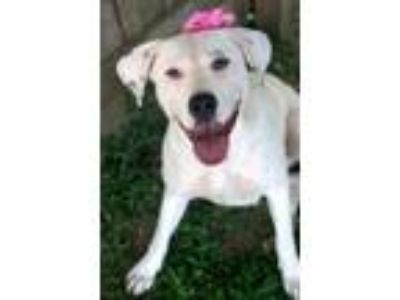 Adopt Lucille a Yellow Labrador Retriever