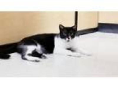 Adopt Eagle a Domestic Short Hair