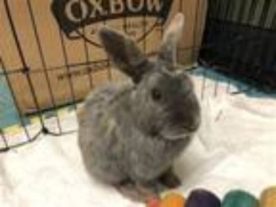 Adopt Sawyer a Bunny Rabbit