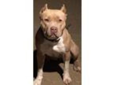 Adopt Xena the Pitbull a Pit Bull Terrier