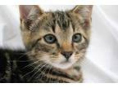 Adopt Watson a Gray or Blue Domestic Shorthair / Bengal / Mixed cat in Garland
