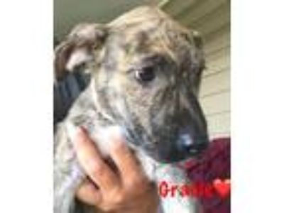Adopt Gracie a Brindle - with White Labrador Retriever / Hound (Unknown Type) /