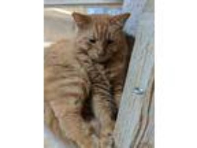 Adopt Big Red a Orange or Red Maine Coon / Domestic Shorthair / Mixed cat in