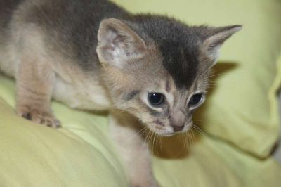 Abyssinian kittens, rudy and blue, from CFA reg. breeer