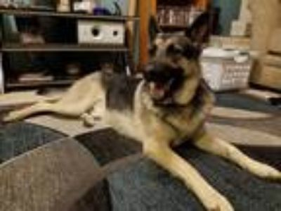 Adopt Nico a Black - with Tan, Yellow or Fawn German Shepherd Dog / Mixed dog in