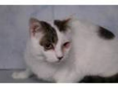Adopt Eye Girl a American Shorthair
