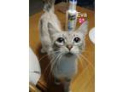 Adopt Eva a Domestic Short Hair, Siamese