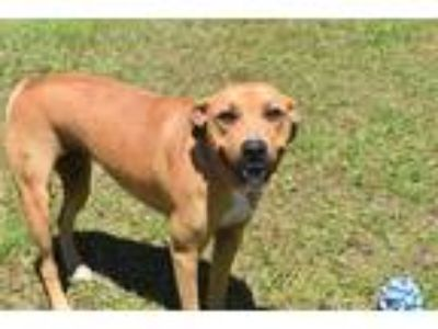 Adopt HAZEL a Tan/Yellow/Fawn - with White Labrador Retriever / American Pit