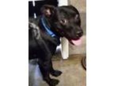 Adopt Tiny a Pit Bull Terrier