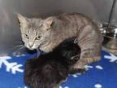 Adopt Shaw a Gray or Blue Domestic Shorthair / Domestic Shorthair / Mixed cat in