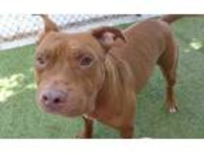 Adopt *SHREK a Brown/Chocolate - with White American Pit Bull Terrier / Mixed