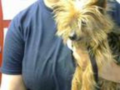 Adopt FRAGGLE a Yorkshire Terrier, Mixed Breed