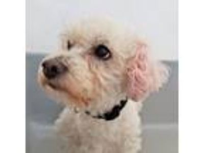 Adopt Peluchi a White Poodle (Toy or Tea Cup) / Mixed dog in San Francisco