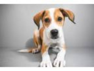 Adopt Mylo a Hound, Mixed Breed