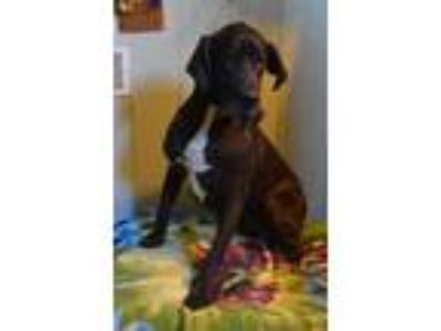 Adopt Paisley a Black Great Dane / Mixed dog in Bethel, OH (23807160)