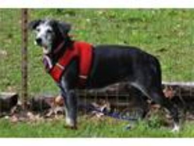 Adopt Sweet Pea a Gray/Silver/Salt & Pepper - with White Whippet / Mixed dog in
