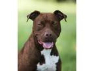 Adopt Hansel-URGENT a Brown/Chocolate - with White Pit Bull Terrier / Mixed dog