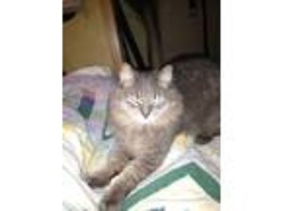 Adopt Tommy a Calico or Dilute Calico Domestic Longhair cat in Newfield