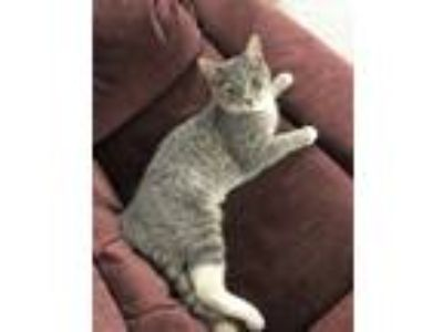 Adopt Jewel a Gray, Blue or Silver Tabby Domestic Shorthair (short coat) cat in