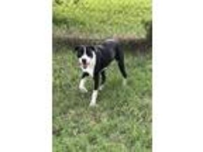 Adopt Willis a German Shorthaired Pointer, Pit Bull Terrier