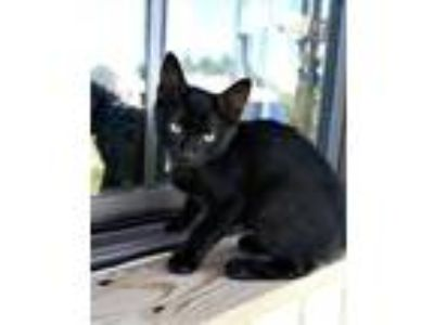Adopt Devon a Domestic Short Hair