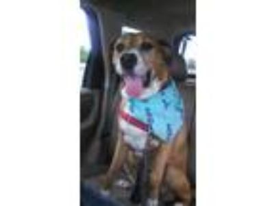 Adopt Belle - Momma Boxer Mix a Red/Golden/Orange/Chestnut - with White Boxer /