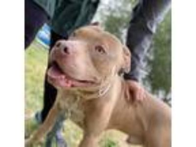 Adopt Dexter a Tan/Yellow/Fawn - with White Pit Bull Terrier / Mixed dog in