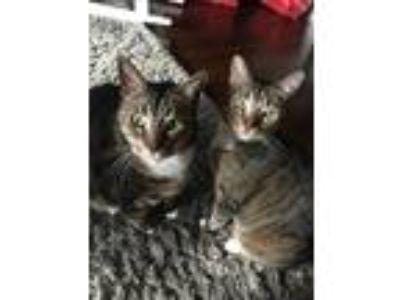 Adopt Maximus & Diesel a Brown Tabby Domestic Mediumhair / Mixed cat in Chicago