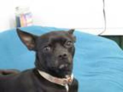Adopt Billy a Black - with White Miniature Pinscher / Mixed dog in Osgood