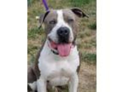 Adopt Mr. T a Pit Bull Terrier