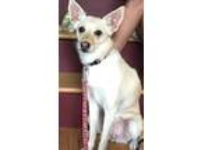 Adopt Anndi a Tan/Yellow/Fawn Spitz (Unknown Type, Small) / Mixed dog in