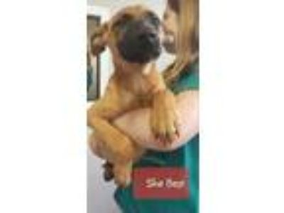 Adopt She Bop a Brown/Chocolate Belgian Malinois / Black Mouth Cur / Mixed dog
