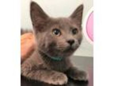 Adopt Dusty a Gray or Blue Domestic Shorthair / Mixed (short coat) cat in