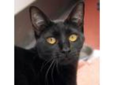 Adopt Missy a All Black Domestic Shorthair / Domestic Shorthair / Mixed cat in