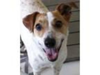 Adopt Nana Banana a White Jack Russell Terrier / Mixed dog in Victoria