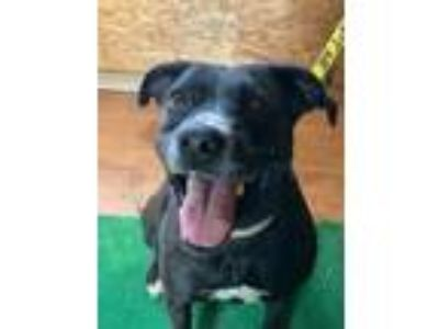 Adopt Lakota a Labrador Retriever