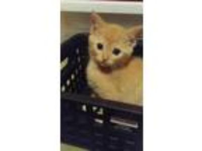 Adopt John Munch a Orange or Red Domestic Shorthair / Domestic Shorthair / Mixed