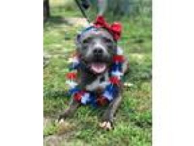 Adopt Betty Boop a Pit Bull Terrier / Mixed Breed (Medium) / Mixed dog in