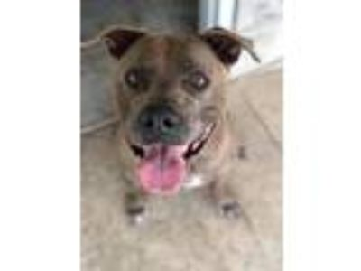 Adopt Zeus a American Staffordshire Terrier / Mixed dog in Ocala, FL (21256337)