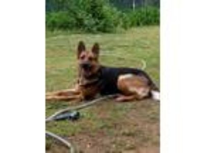 Adopt Hemi a German Shepherd Dog