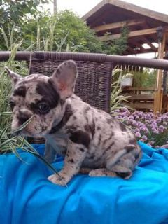 French Bulldog PUPPY FOR SALE ADN-78480 - Merle Sisters Frenchie