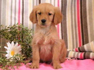 Golden Retriever PUPPY FOR SALE ADN-71277 - Golden Retriever Puppy for Sale