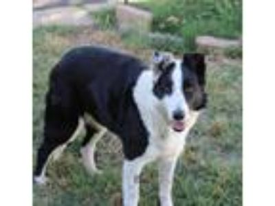 Adopt SAGE a Black - with White Border Collie / Mixed dog in Corning